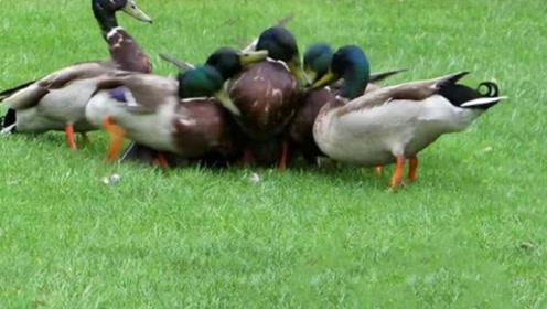一只母鸭误入公鸭群,没一会就站不起来了,看完心疼母鸭三秒!