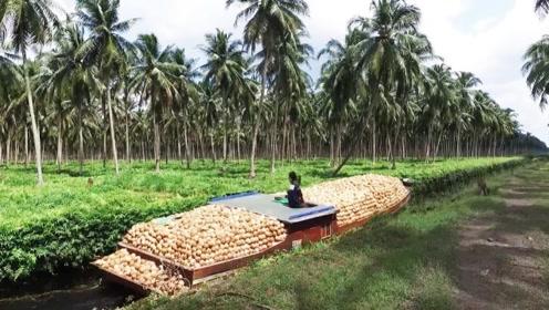 诱人的椰子汁工厂:从采摘到加工成椰汁,整个过程超享受!