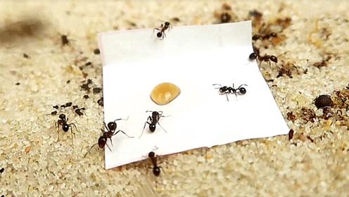给蚂蚁喝可乐会怎样?结果出乎意料,蚂蚁:有点上头!