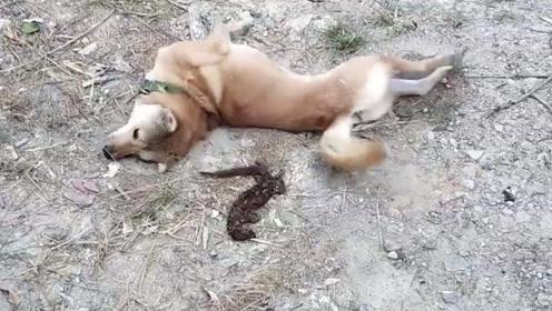 """狗狗抓了一只""""老鼠"""",咬了一口才发现不对,下一秒被臭屁熏得直打滚!"""