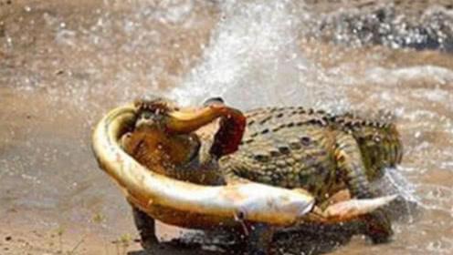 鳄鱼本想饱餐一顿,却白白葬送了性命,镜头记录下全过程