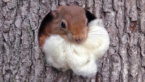 松鼠也会晒被子,抱着一大团棉花出洞,记录下经典的一幕!