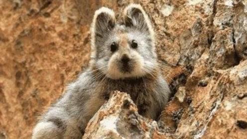 这种兔子专吃名贵药材,已濒临灭绝,网友:比大熊猫还金贵