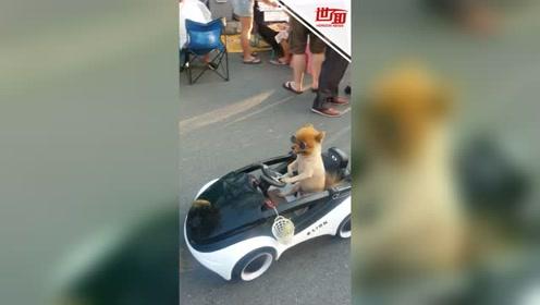 """最拉风的崽:泰国小狗戴墨镜""""开车""""逛市场"""