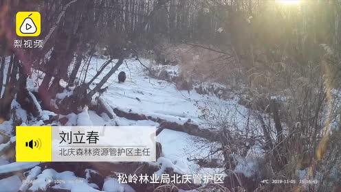 太委屈!一级保护动物貂熊被当土狗,全国野外仅剩200只
