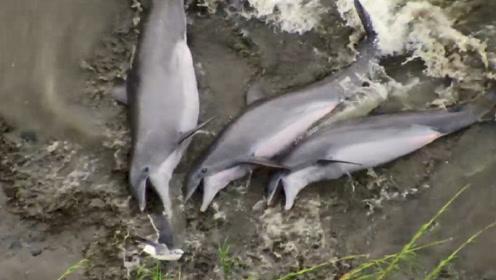 三只海豚故意搁浅,只为捕到海鸟,网友:套路太深了!
