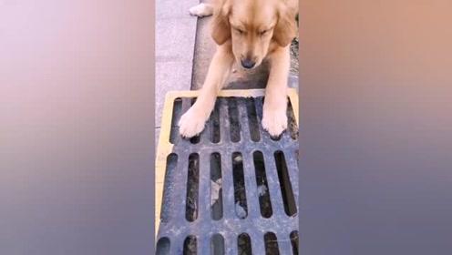 狗狗是人类的好朋友,看金毛的所作所为太感人了
