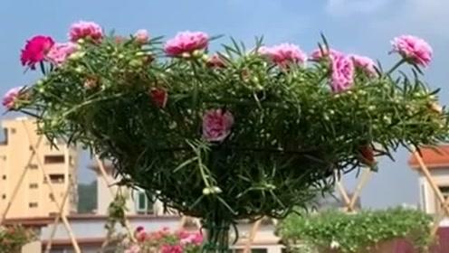 很普通的太阳花,想不到还能这样种,简直太让人惊艳了!