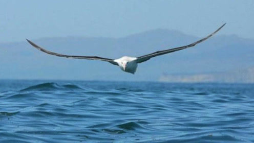 世界上最会飞行的鸟 睡觉都在飞行中 一生飞行可绕地球150圈