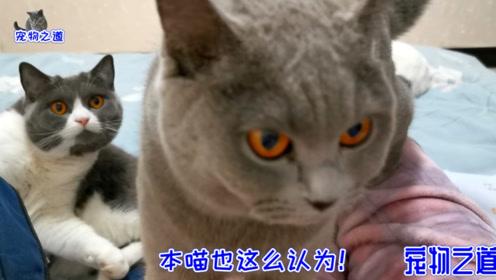 铲屎官让两只胖猫为自己服务,一只胖猫连忙假装睡着,太聪明了