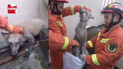 小区楼顶惊现狐狸,三名消防员合力按住绑绳:闻起好骚哦