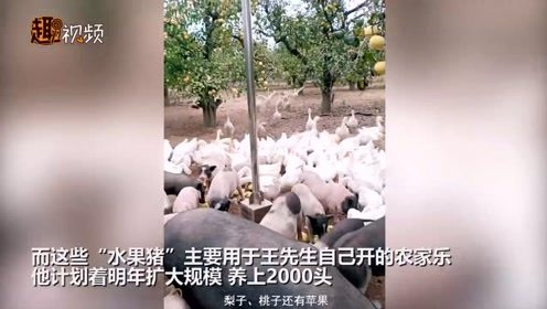 霸气!农民养200多头猪全年水果供应不断:水果就是他们的主食