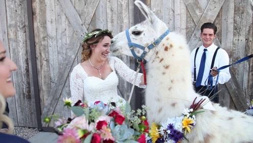拿羊驼当花童,意义还真是独一份,不怕朝新人吐口水?