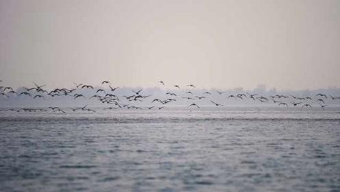 壮观!10万大雁不南飞,栖息河北溢泉湖过冬