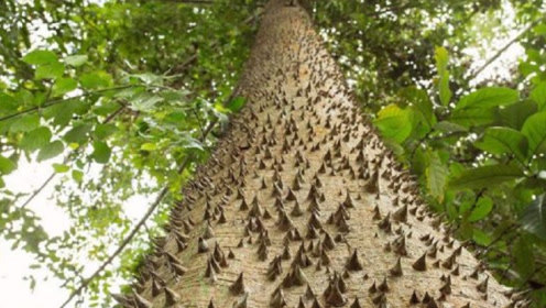 世界上最危险的树,不能烧也不能砍,一旦误吃就会丧命!