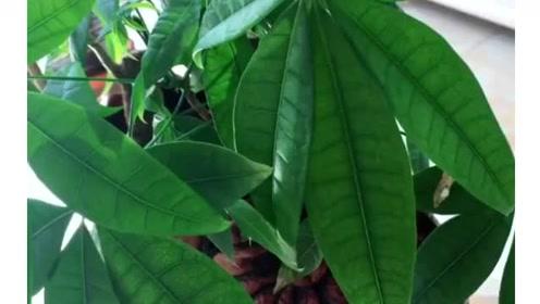 让发财树一年四季常青不黄叶的小妙招,爱养绿植的朋友赶紧收藏