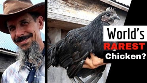 """世界上""""最黑""""的鸡,绝对是鸡届中的战斗鸡,普通人还真吃不起"""