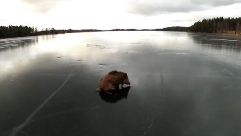 野猪为觅食抄近道,从结冰湖面穿行,没想到冰层突然裂开