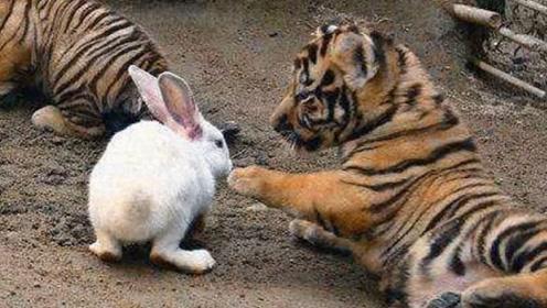 饲养员为激发小老虎的兽性,扔进几只兔子,没想到小老虎这么温柔