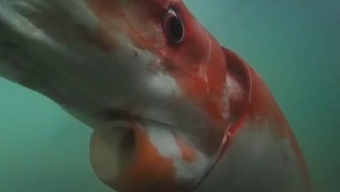 """世界上最大的乌贼,生命按天计算,是现实版的""""深海巨妖"""""""