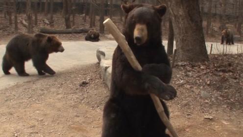两只熊经常打架,不料其中一头学会了打熊棒法,另一只怂了