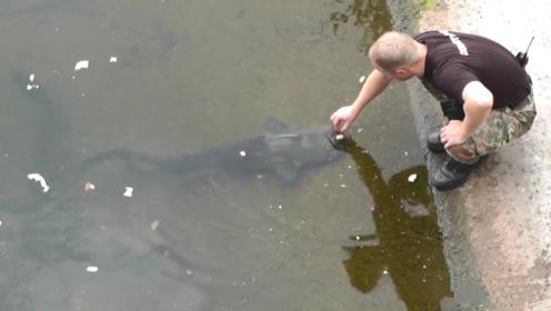 废弃核电站旁河里的鲶鱼,没人敢抓,任由它们越长越大
