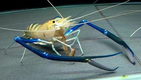 长臂罗氏虾,手臂比身体还长!