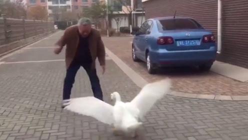 大白鹅想要偷袭大爷,没想到被大爷一招治住,这次遇到对手了!