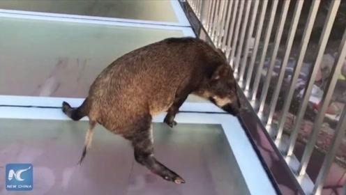 野猪不小心走上玻璃栈道,场面一度很搞笑,原来猪也会恐高啊!