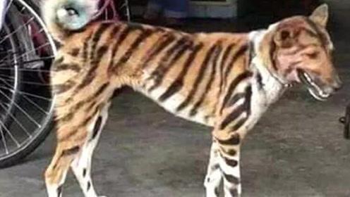 印度农夫在狗身上画虎纹 吓跑糟蹋庄稼的猴子效果惊人