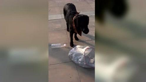 拉布拉多捡瓶子换食物,只为帮助陌生人,这只狗真暖心