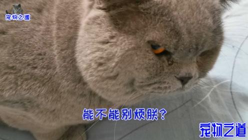 胖公猫睡懒觉被主人吵醒,把气撒向母猫伸爪就打,眼神真霸气