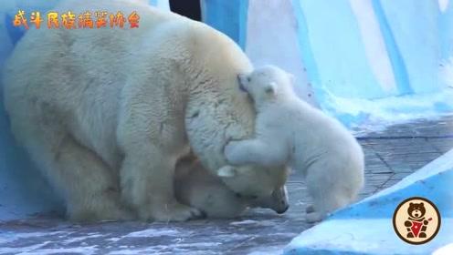 自己的娃就是得宠着!这么冷的天,北极熊妈妈坚持陪两个宝宝在外面玩
