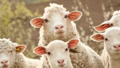 这都能控制?为应对气候变化 新西兰培育放屁少的羊!