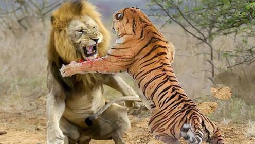 非洲狮不是牛得很吗?怎么在亚洲虎面前怂了,被打到怀疑狮生!