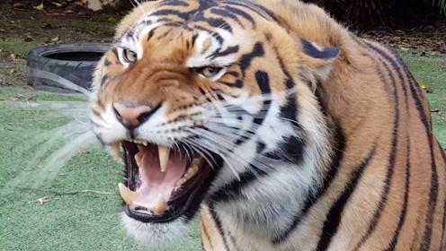 如果不是亲眼所见,你能相信有黑色的老虎吗?看完不自觉的笑了