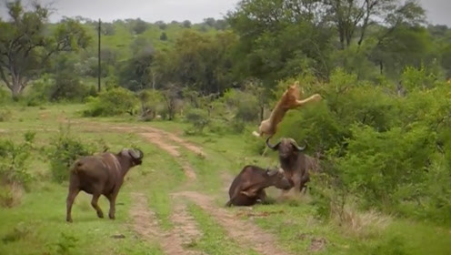 野牛为救同伴,用牛角将狮子掀翻,镜头记录惊险一幕