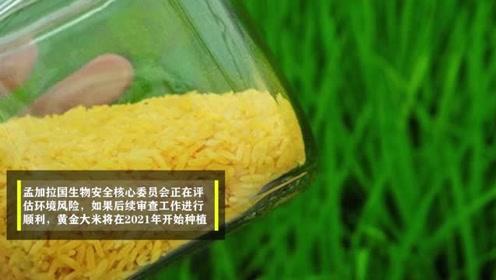 饱受20年的转基因食品:黄金大米或将面世,孟加拉国成领头羊