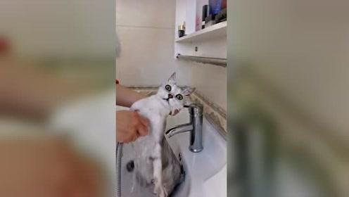 给猫咪洗澡怎么了,猫咪为何这幅表情,这样的猫咪你喜欢吗?