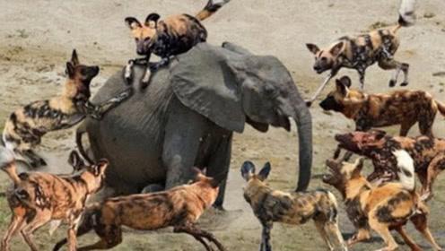 多条野狗欺负大象,大象被激怒,下一秒野狗就后悔了