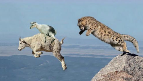 雪豹追捕岩山羊,山羊宁可跳崖也不做雪豹嘴边肉,镜头记录全过程