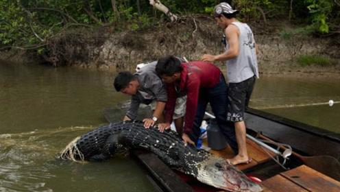 亚马逊河里的庞然大物,鳞片比金属还坚硬,食人鱼都拿它没办法!