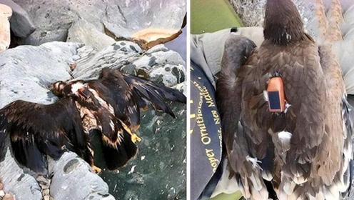 科学家在老鹰身上装GPS,30年后取下研究,飞行轨迹让人意外