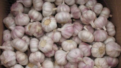 才知道,保存大蒜真简单,不放冰箱不埋土,大蒜不干瘪不发芽