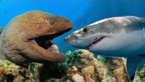 电鳗偷袭鲨鱼,看样子将会是一场大战,怎料一招鲨鱼就凉了