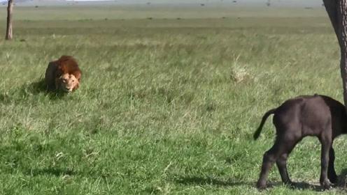 雄狮都到它身后了,小牛犊还蒙在鼓里,待在树下等妈妈