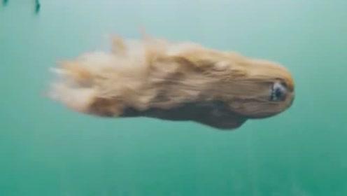阿富汗猎犬的在水中游泳的姿态,有一种神奇的美感,销魂!