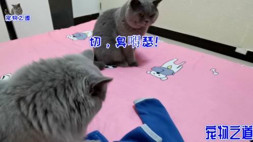 胖公猫躺在主人床上撒娇,猫儿子也跑来卖萌,谁才是喵界萌主?