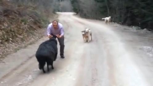 小羊想要攻击主人,不料被狗狗发现了,镜头拍下搞笑瞬间!