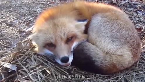 国外小姐姐养了只粘人小狐狸,网友直呼,妲己是你吗